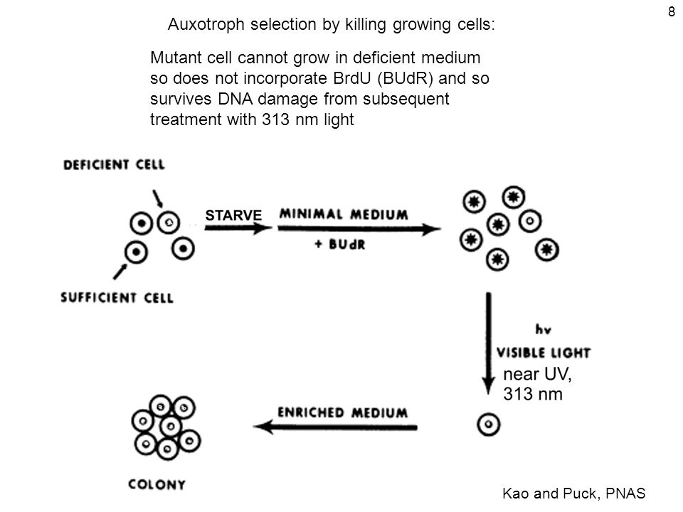 8 Auxotroph selection by killing growing cells: Mutant cell cannot grow in deficient medium so does not incorporate BrdU (BUdR) and so survives DNA damage from subsequent treatment with 313 nm light Kao and Puck, PNAS