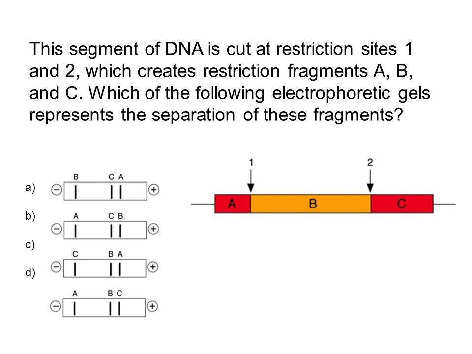 This segment of DNA is cut at restriction sites 1 and 2, which creates restriction fragments A, B, and C. Which of the following electrophoretic gels