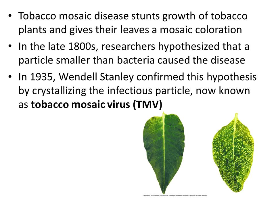 Tobacco mosaic disease stunts growth of tobacco plants and gives their leaves a mosaic coloration In the late 1800s, researchers hypothesized that a p