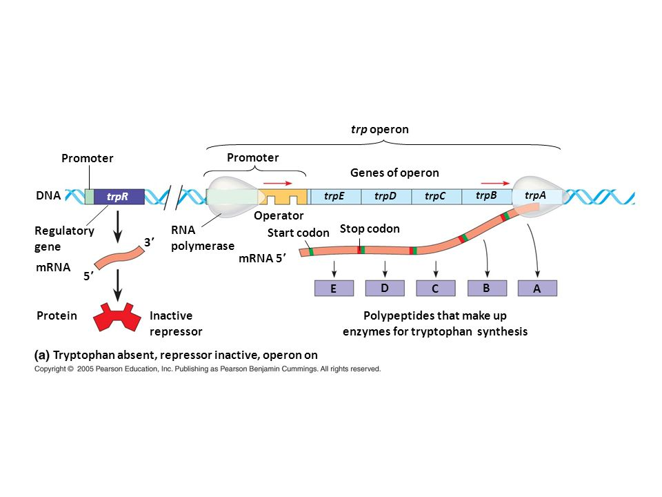 Promoter DNA trpR Regulatory gene RNA polymerase mRNA 3 5 Protein Inactive repressor Tryptophan absent, repressor inactive, operon on mRNA 5 trpE trpD