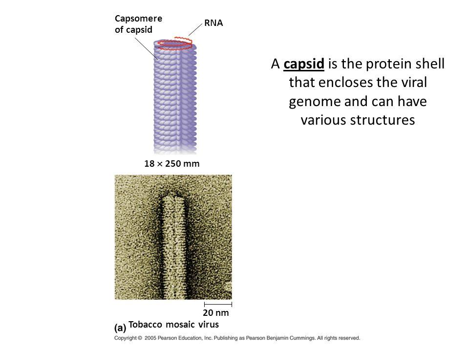 Capsomere Glycoprotein 70–90 nm (diameter) DNA Adenoviruses 50 nm