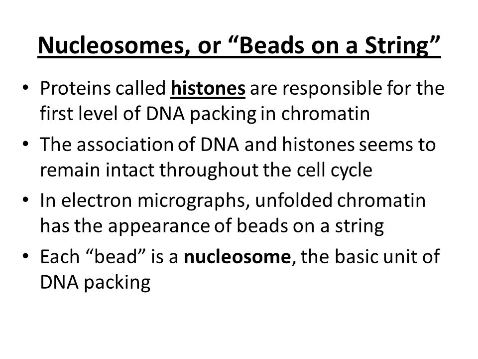 """Nucleosomes, or """"Beads on a String"""" Proteins called histones are responsible for the first level of DNA packing in chromatin The association of DNA an"""