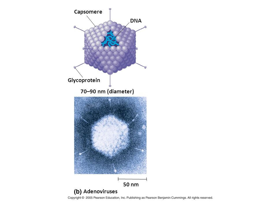RNA ER Capsid HOST CELL Viral genome (RNA) mRNA Capsid proteins Envelope (with glycoproteins) Glyco- proteins Copy of genome (RNA) Capsid and viral genome enter cell New virus Template