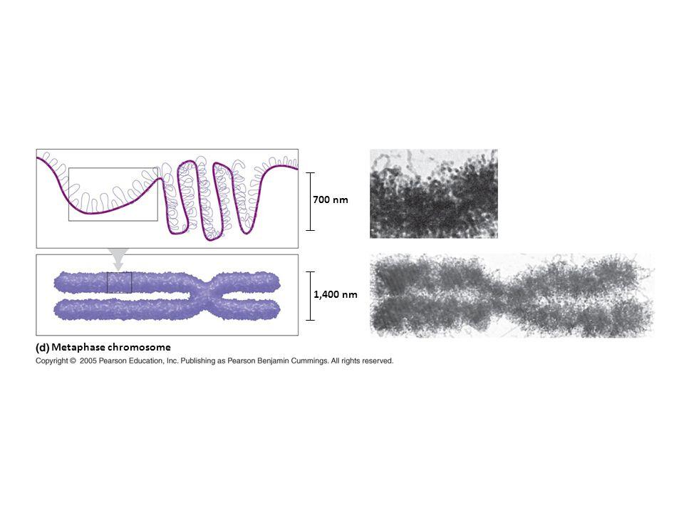 Metaphase chromosome 700 nm 1,400 nm