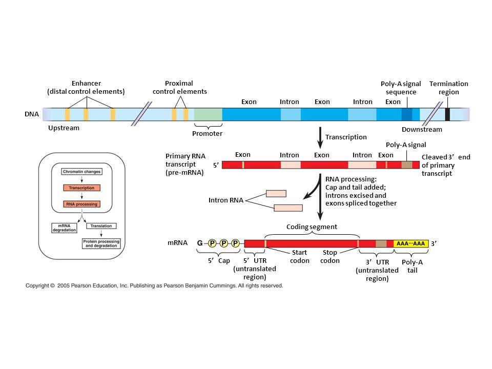 Enhancer (distal control elements) Proximal control elements Upstream DNA Promoter ExonIntron ExonIntron Exon Downstream Transcription Poly-A signal s