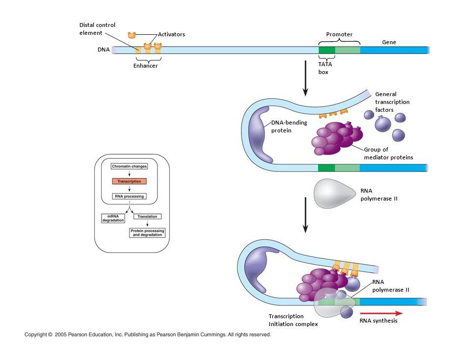 Distal control element Activators Enhancer DNA DNA-bending protein TATA box Promoter Gene General transcription factors Group of mediator proteins RNA