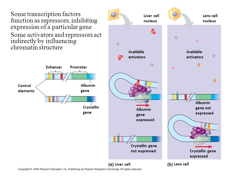 Control elements EnhancerPromoter Albumin gene Crystallin gene Available activators Available activators Albumin gene not expressed Albumin gene expre