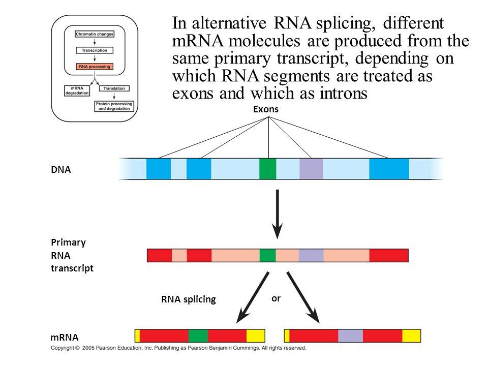 Primary RNA transcript DNA or Exons RNA splicing mRNA In alternative RNA splicing, different mRNA molecules are produced from the same primary transcr