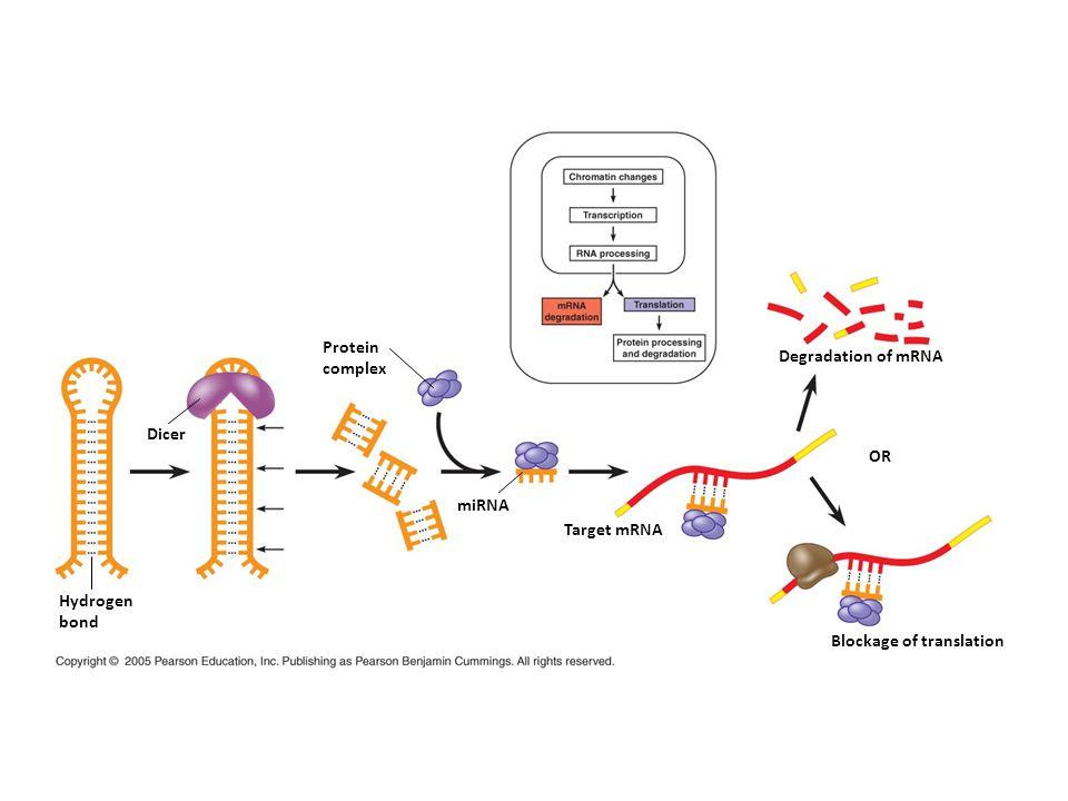 Dicer Hydrogen bond Protein complex miRNA Target mRNA Degradation of mRNA OR Blockage of translation
