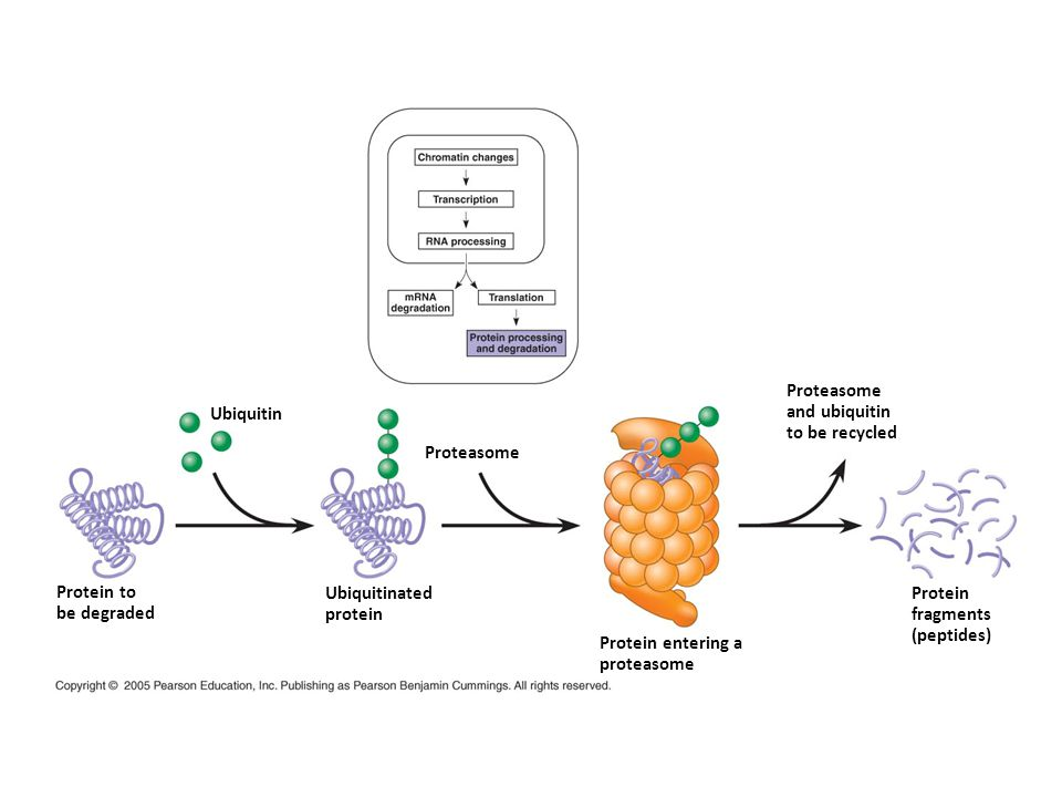Protein to be degraded Ubiquitinated protein Proteasome Protein entering a proteasome Protein fragments (peptides) Proteasome and ubiquitin to be recy