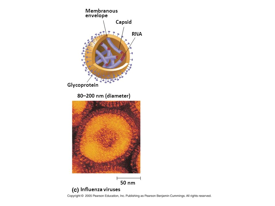 Sex pilus 5 µm