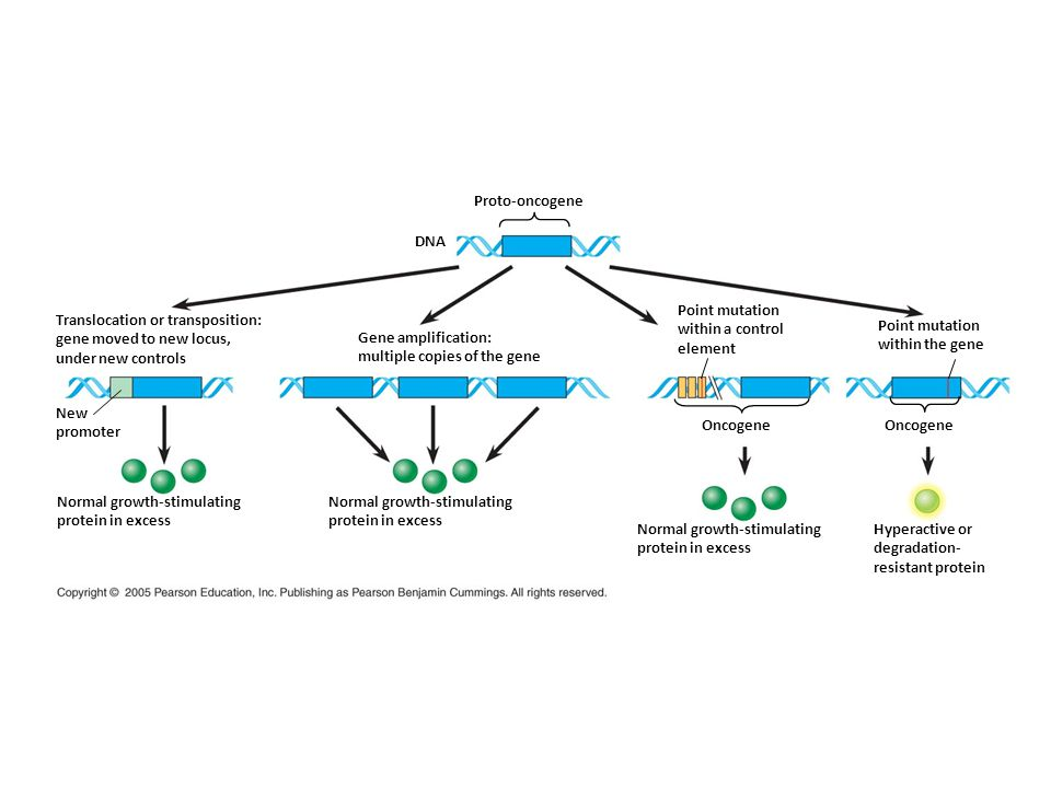Proto-oncogene DNA Translocation or transposition: gene moved to new locus, under new controls New promoter Gene amplification: multiple copies of the