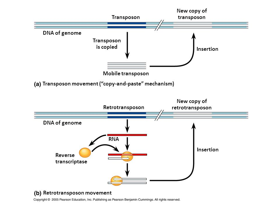 """DNA of genome Transposon is copied Mobile transposon Transposon Insertion New copy of transposon Transposon movement (""""copy-and-paste"""" mechanism) Retr"""