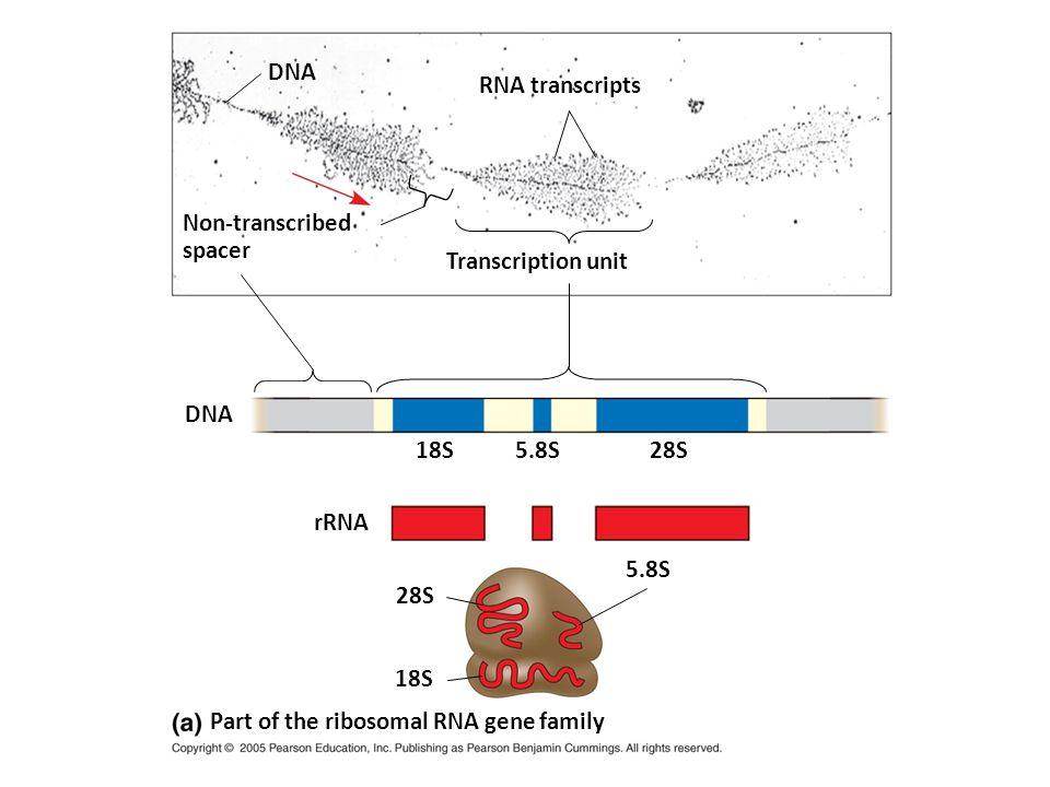 DNA Non-transcribed spacer RNA transcripts Transcription unit DNA 18S 5.8S 28S rRNA 18S 5.8S 28S Part of the ribosomal RNA gene family