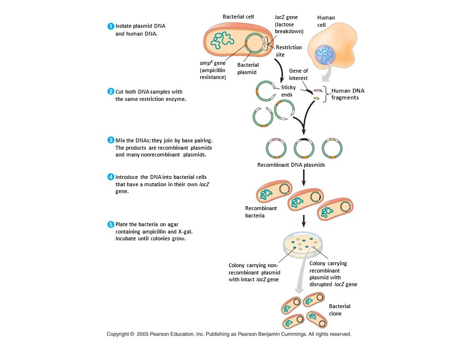Isolate plasmid DNA and human DNA. Cut both DNA samples with the same restriction enzyme. Mix the DNAs; they join by base pairing. The products are re