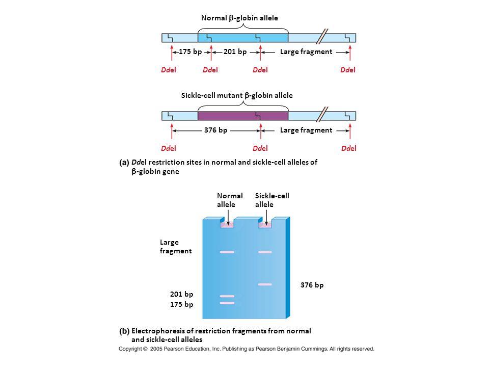 Normal  -globin allele 175 bp201 bpLarge fragment Sickle-cell mutant  -globin allele 376 bpLarge fragment Ddel Ddel restriction sites in normal and