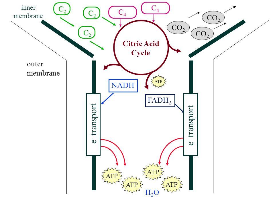 O2O2 O2O2 Citric Acid Cycle C2C2C2C2 C2C2C2C2 C2C2C2C2 CO 2 C4C4C4C4 C4C4C4C4 NADH FADH 2 ATP H2OH2O outer membrane inner membrane e - transport
