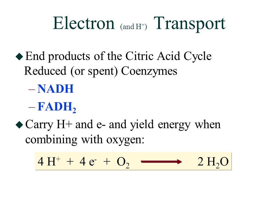 Electron (and H + ) Transport  End products of the Citric Acid Cycle Reduced (or spent) Coenzymes –NADH –FADH 2  Carry H+ and e- and yield energy when combining with oxygen: 4 H + + 4 e - + O 2 2 H 2 O