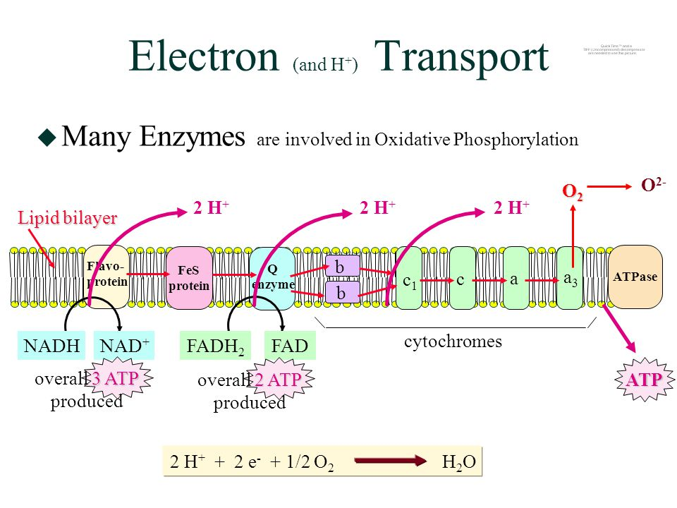 Electron (and H + ) Transport  Many Enzymes are involved in Oxidative Phosphorylation 2 H + + 2 e - + 1/2 O 2 H 2 O Flavo- protein Lipid bilayer FeS protein Q enzyme b b c1c1 c a a3a3 ATPase cytochromes O2O2O2O2 NADHNAD + FADH 2 FAD ATP 2 H + 2 ATP overall 2 ATP produced 3 ATP overall 3 ATP produced O 2-