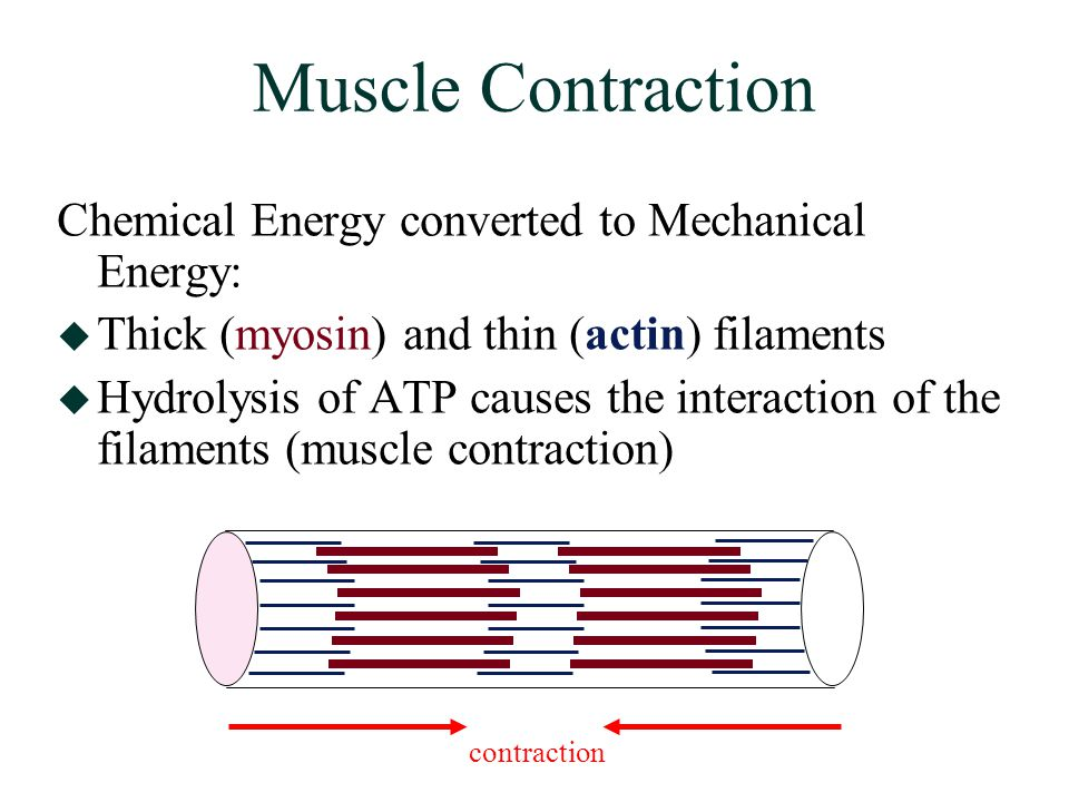 Muscle Contraction Chemical Energy converted to Mechanical Energy:  Thick (myosin) and thin (actin) filaments  Hydrolysis of ATP causes the interaction of the filaments (muscle contraction) contraction