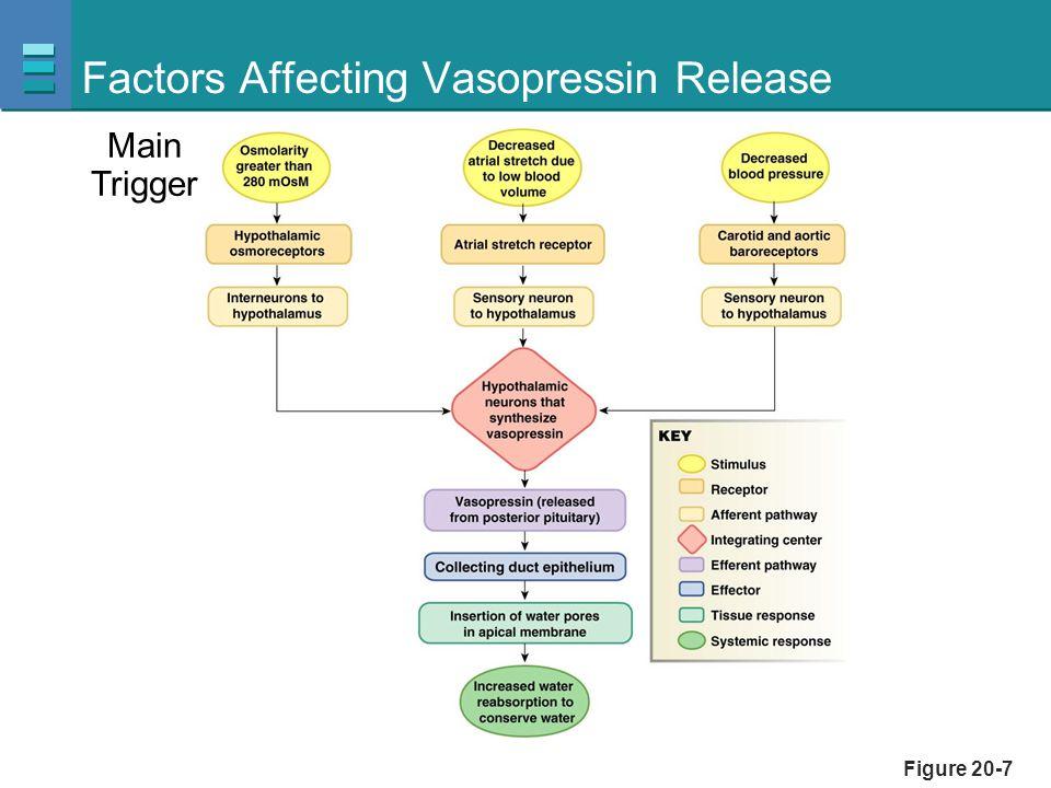 Figure 20-7 Factors Affecting Vasopressin Release Main Trigger