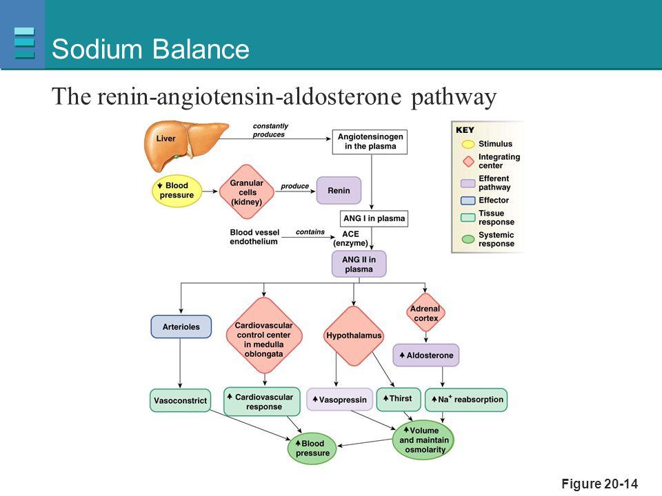 Figure 20-14 Sodium Balance The renin-angiotensin-aldosterone pathway