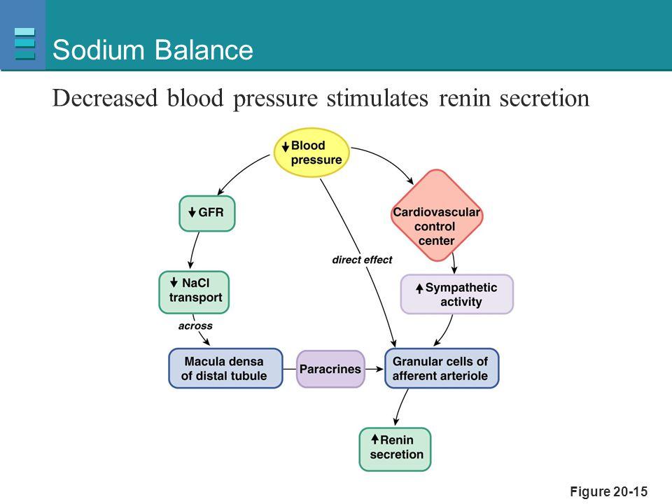 Figure 20-15 Sodium Balance Decreased blood pressure stimulates renin secretion