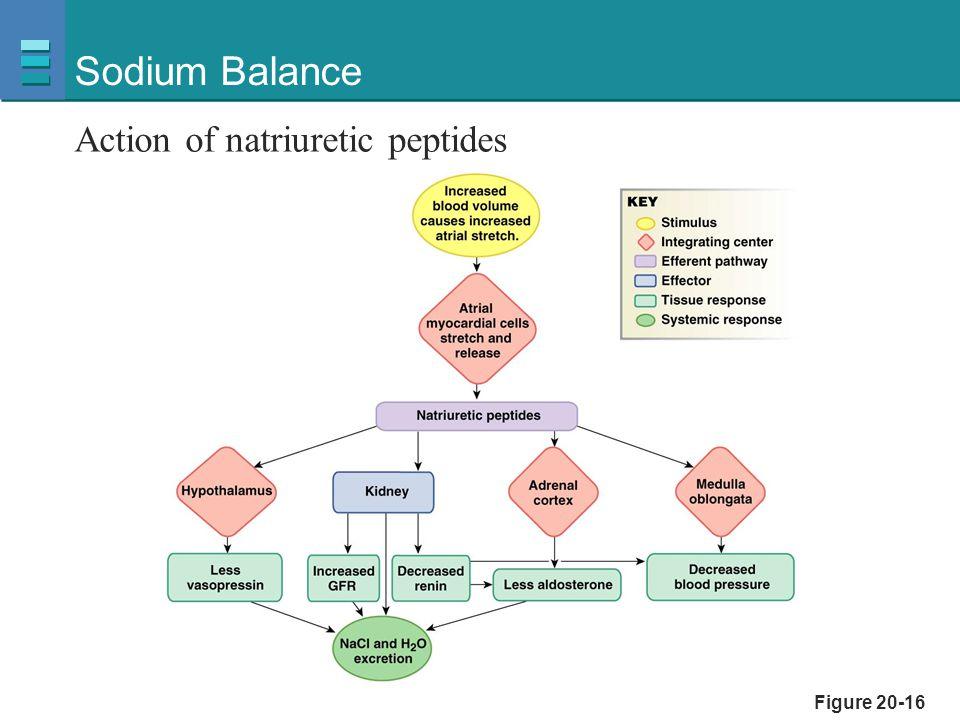 Figure 20-16 Sodium Balance Action of natriuretic peptides
