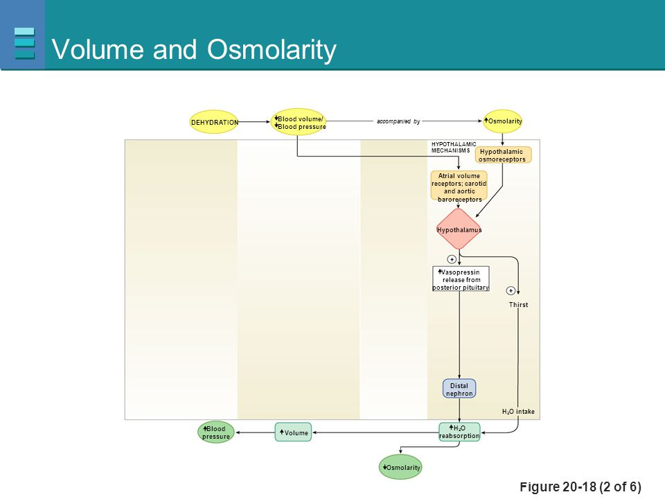 Figure 20-18 (2 of 6) Volume and Osmolarity Blood volume/ Blood pressure Osmolarity accompanied by Distal nephron Vasopressin release from posterior p