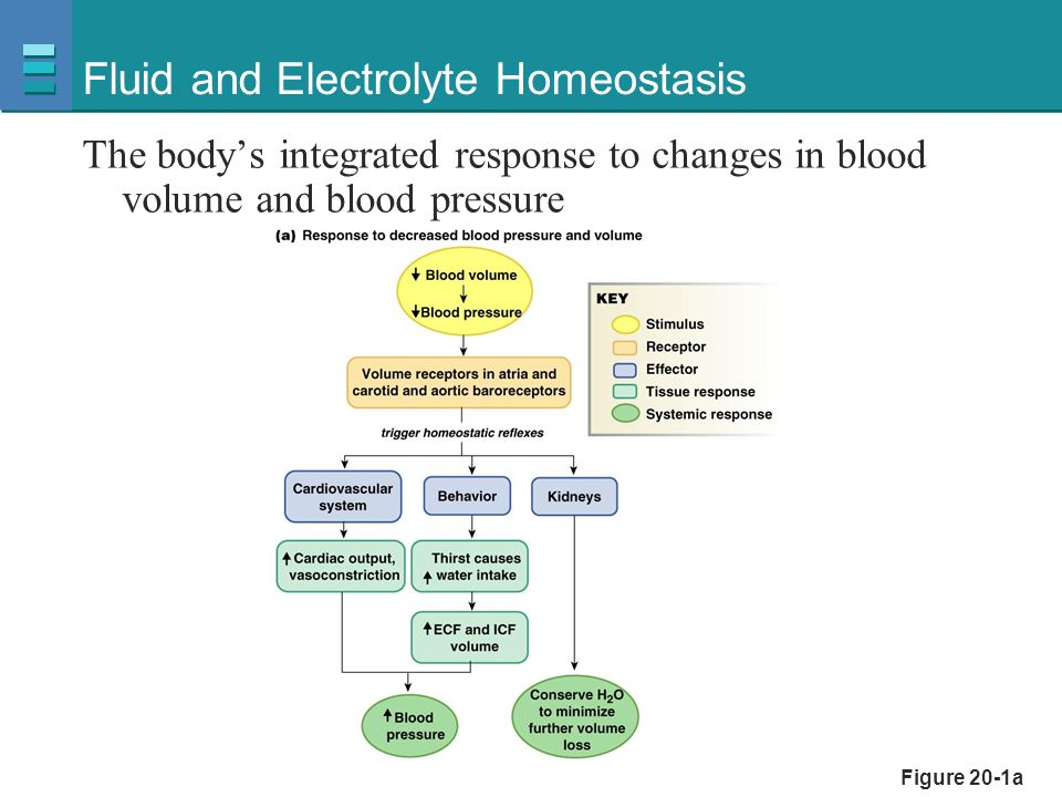 Figure 20-1b Fluid and Electrolyte Homeostasis