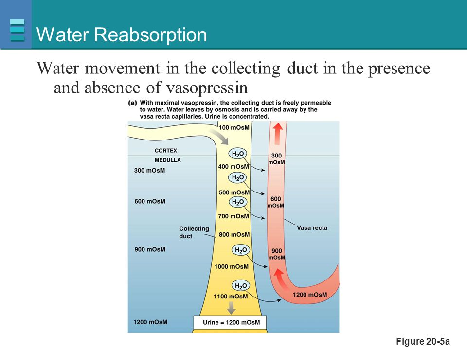 Fluid and Electrolyte Balance  Vasa recta removes water  Close anatomical association of the loop of Henle and the vasa recta-- countercurrent exchange  Urea increases the osmolarity of the medullary interstitium--urea is 50% of solutes