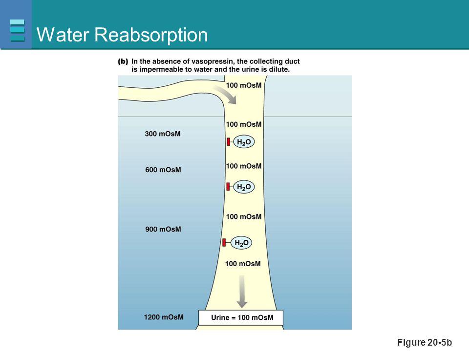 Figure 20-6, step 1 Water Reabsorption Collecting duct lumen Filtrate 300 mOsm Cross-section of kidney tubule Collecting duct cell Medullary interstitial fluid Vasopressin receptor Vasa recta Vasopressin binds to mem- brane receptor.