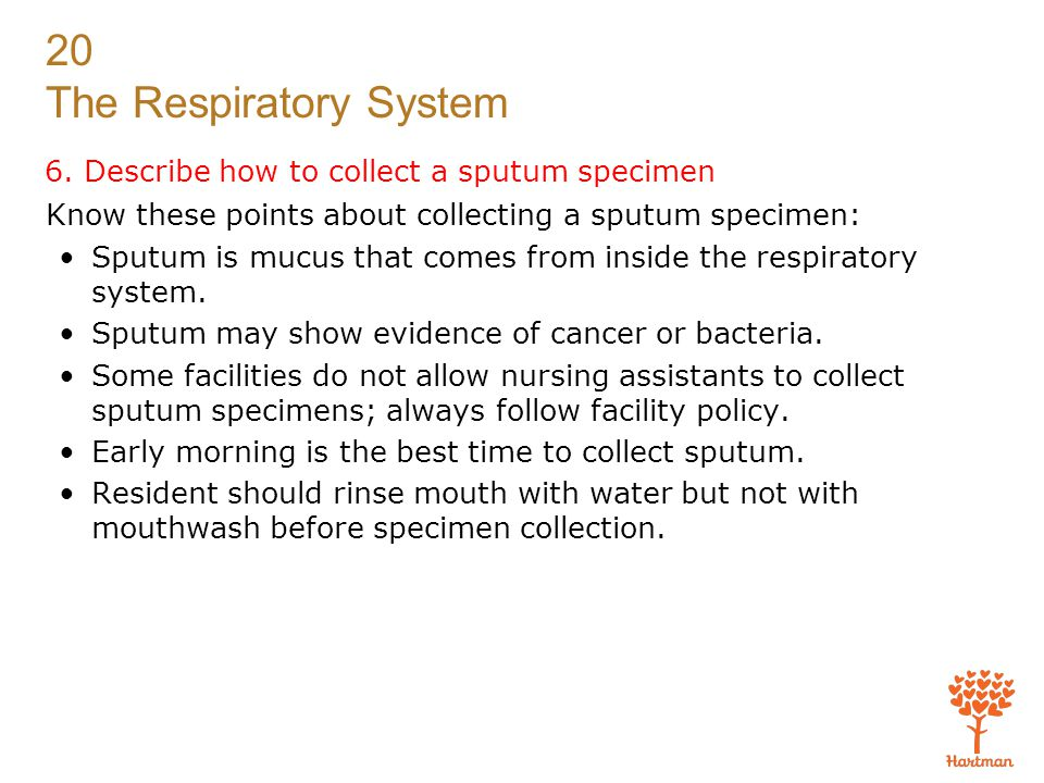 20 The Respiratory System 6. Describe how to collect a sputum specimen Know these points about collecting a sputum specimen: Sputum is mucus that come