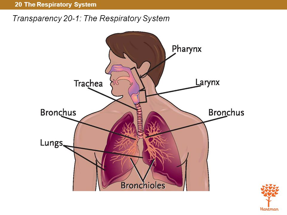 20 The Respiratory System Transparency 20-1: The Respiratory System