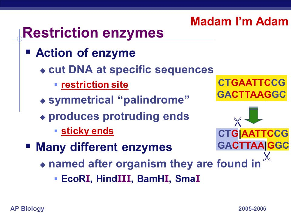 """AP Biology 2005-2006 Cut DNA  Restriction enzymes  restriction endonucleases  discovered in 1960s  evolved in bacteria to cut up foreign DNA (""""res"""