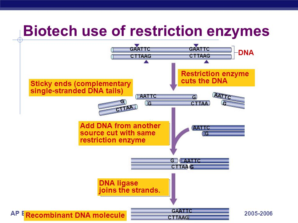 AP Biology 2005-2006 Discovery of restriction enzymes 1960s|1978 Werner ArberDaniel Nathans Hamilton O. Smith Restriction enzyme movie Restriction enz