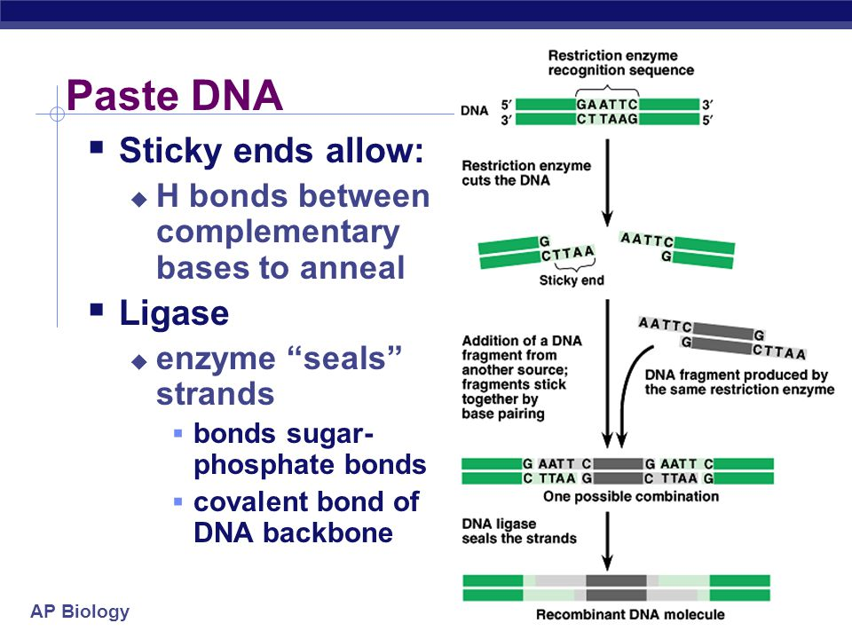 AP Biology 2005-2006 AATTC GAATTC G G G G G CTTAAG GAATTC CTTAAG CTTAA CTTAAG DNA ligase joins the strands. DNA Sticky ends (complementary single-stra