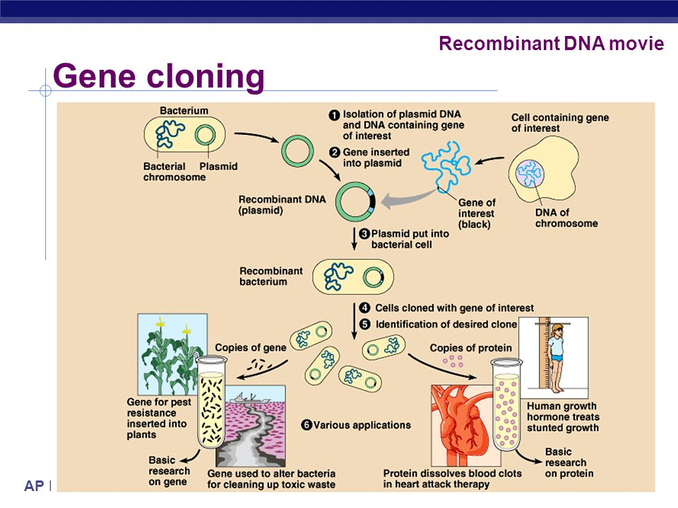 AP Biology 2005-2006 Amp selection & LacZ screening - gene of interest - LacZ gene - amp resistance LB/ampLB/amp/Xgal