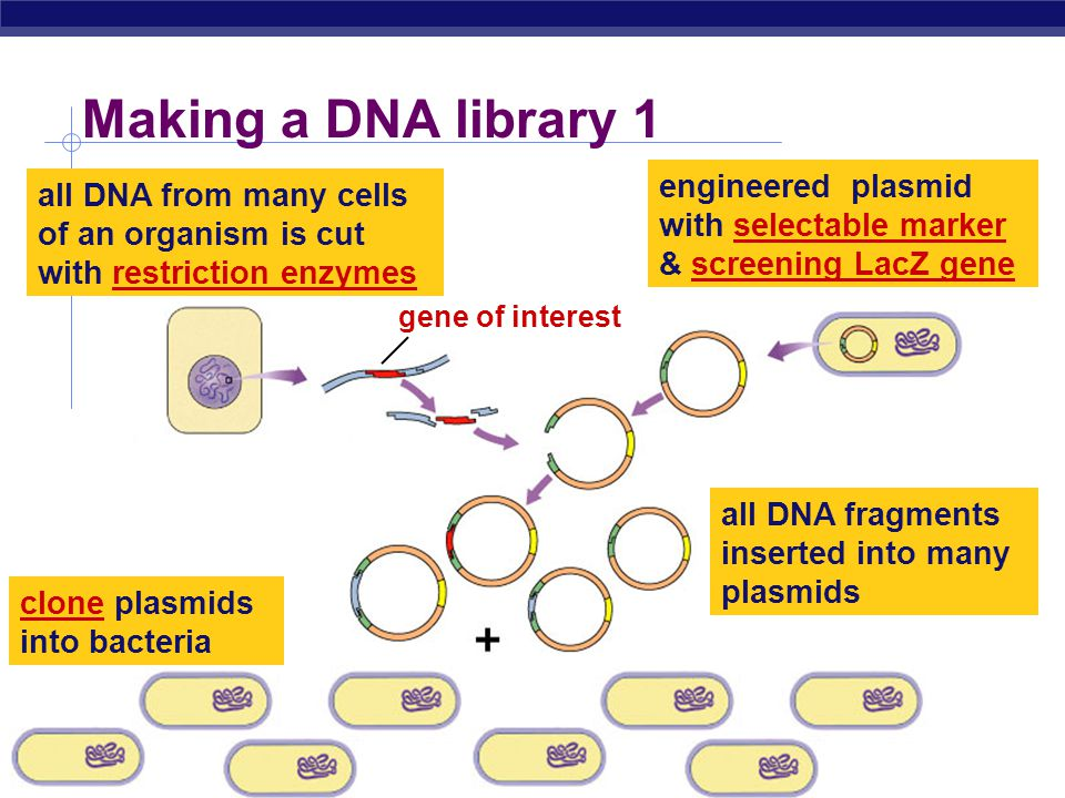 AP Biology 2005-2006 DNA libraries  Cut up all of nuclear DNA from many cells of an organism  restriction enzyme  Clone all fragments into plasmids
