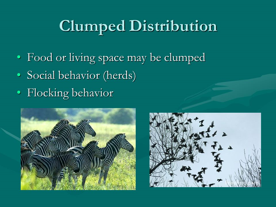 Even Distribution Social interactionsSocial interactions Colonial nesting behaviorColonial nesting behavior V-pattern in flight (waterfowl migration)V-pattern in flight (waterfowl migration)