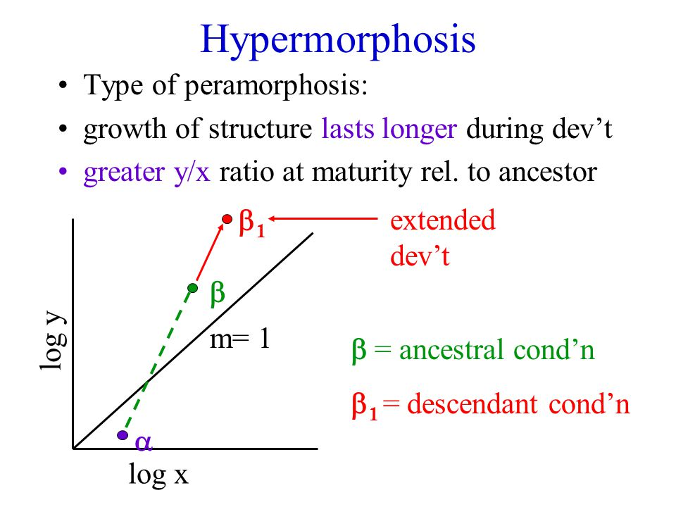 Hypermorphosis Type of peramorphosis: growth of structure lasts longer during dev't greater y/x ratio at maturity rel.