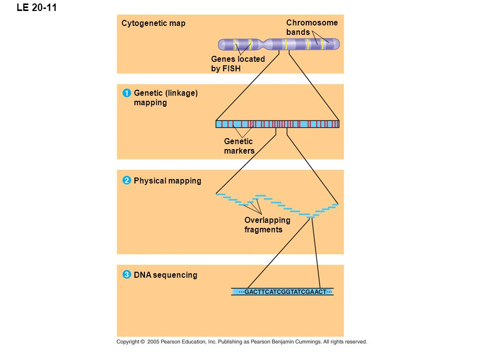 LE 20-11 Cytogenetic map Genes located by FISH Chromosome bands Genetic markers Genetic (linkage) mapping Physical mapping Overlapping fragments DNA s