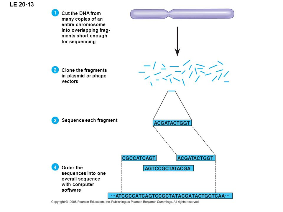 LE 20-13 Cut the DNA from many copies of an entire chromosome into overlapping frag- ments short enough for sequencing Clone the fragments in plasmid