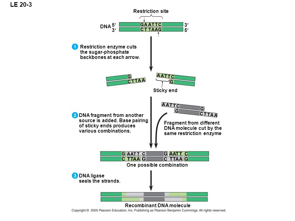 LE 20-3 Restriction site DNA 5 3 3 5 Restriction enzyme cuts the sugar-phosphate backbones at each arrow. One possible combination DNA fragment from a