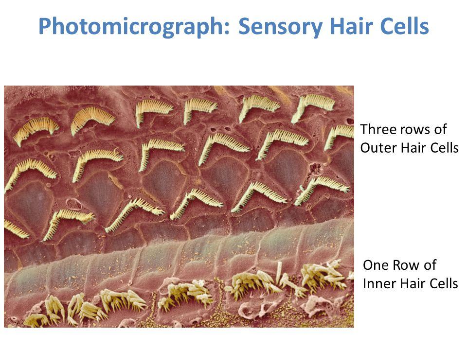 Photomicrograph: Sensory Hair Cells Three rows of Outer Hair Cells One Row of Inner Hair Cells