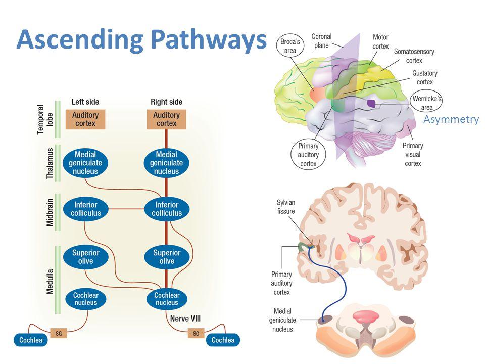 Ascending Pathways Asymmetry