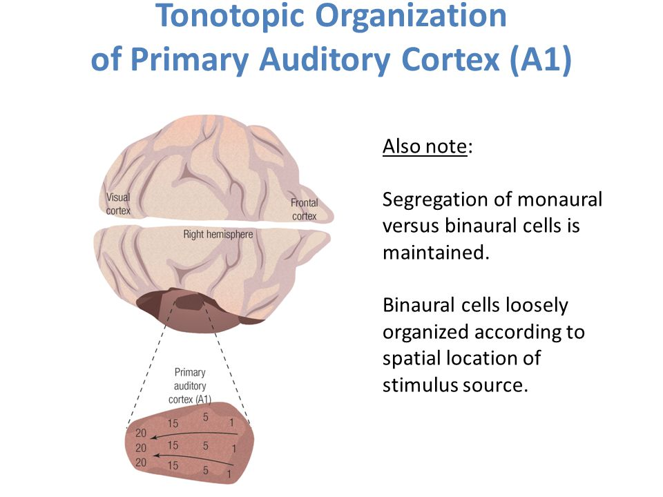 Tonotopic Organization of Primary Auditory Cortex (A1) Also note: Segregation of monaural versus binaural cells is maintained. Binaural cells loosely
