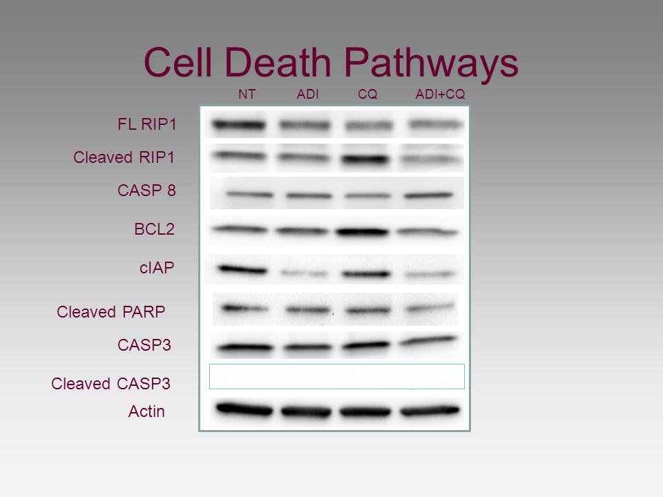 Cell Death Pathways NT ADI CQ ADI+CQ FL RIP1 Cleaved RIP1 CASP 8 BCL2 cIAP Cleaved CASP3 CASP3 Cleaved PARP Actin