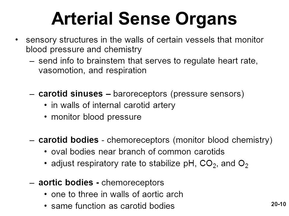 20-10 Arterial Sense Organs sensory structures in the walls of certain vessels that monitor blood pressure and chemistry –send info to brainstem that serves to regulate heart rate, vasomotion, and respiration –carotid sinuses – baroreceptors (pressure sensors) in walls of internal carotid artery monitor blood pressure –carotid bodies - chemoreceptors (monitor blood chemistry) oval bodies near branch of common carotids adjust respiratory rate to stabilize pH, CO 2, and O 2 –aortic bodies - chemoreceptors one to three in walls of aortic arch same function as carotid bodies