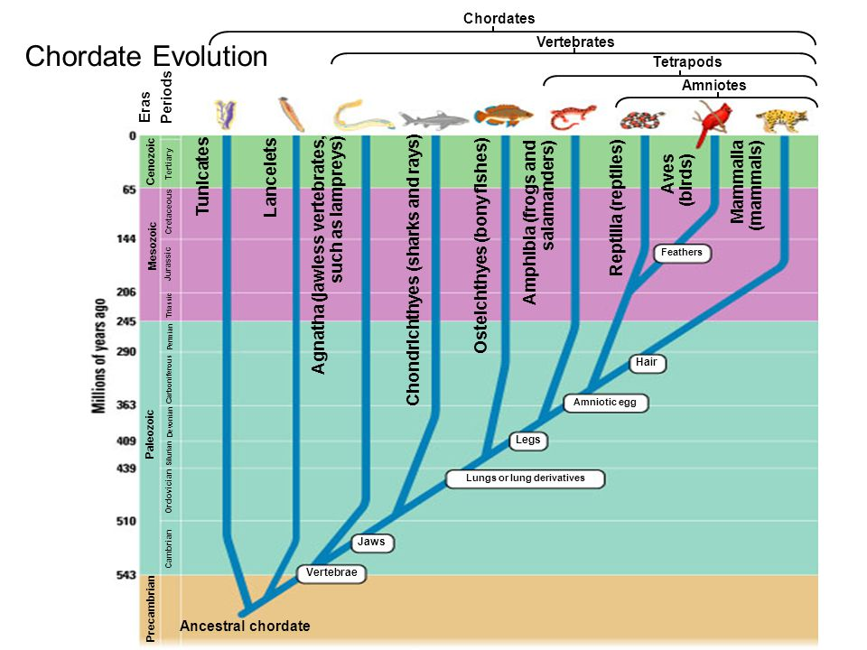 Eras Cenozoic Mesozoic Paleozoic Precambrian Tertiary Cretaceous Jurassic Triassic Permian Carboniferous Devonian Silurian Ordovician Cambrian Tunicates Lancelets Agnatha (jawless vertebrates, such as lampreys) Chondrichthyes (sharks and rays) Osteichthyes (bony fishes) Amphibia (frogs and salamanders) Reptilia (reptiles) Aves (birds) Mammalia (mammals) Ancestral chordate Vertebrae Jaws Lungs or lung derivatives Legs Amniotic egg Hair Feathers Chordates Vertebrates Tetrapods Amniotes Periods Chordate Evolution